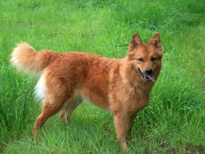 Harzer Fuchs Hundin